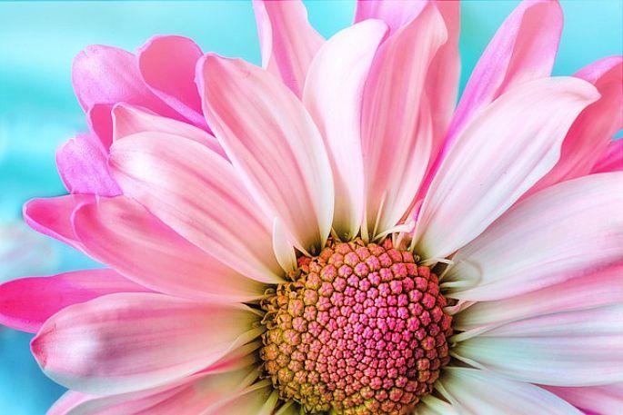 růžový kvítek